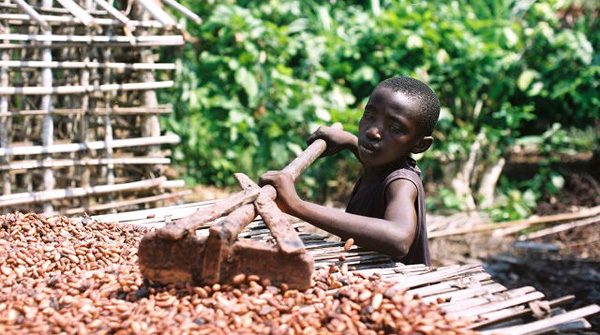 Under-aged child working the production of cocoa in the Ivory Coast. Photo Credit: International Labor Rights Forum.